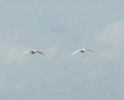 空飛ぶ白鳥