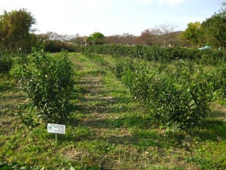 村上茶の茶畑