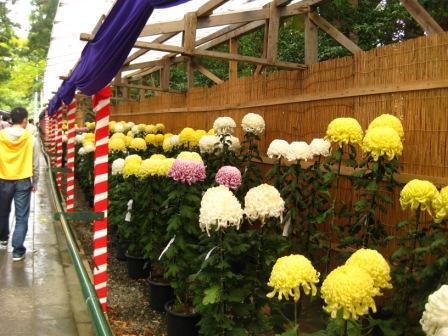 菊祭り開催中