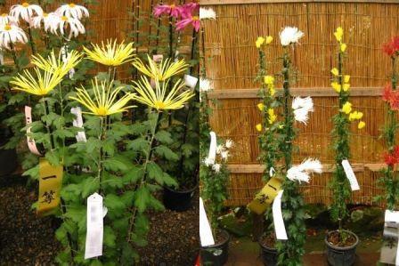 変り種の菊の花