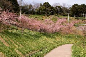 佐久間ダムの河津桜