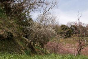 佐久間ダムの椿と水仙と梅と河津桜