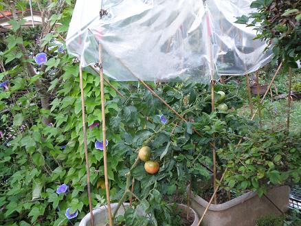 tomato9141.jpg