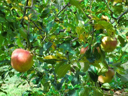 リンゴ(津軽)