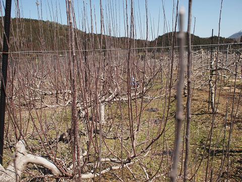 長果枝の林