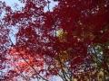P1010984紅葉