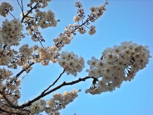 2012 4 8 桜4