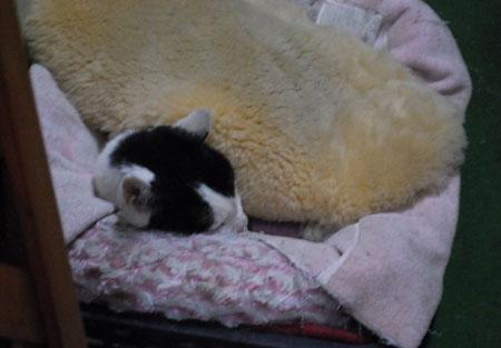 ムートンを被って寝るチロちゃん