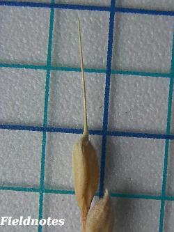 収穫した植木鉢稲の籾