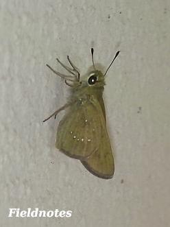 翅の白い斑点が丸く並ぶ<br>チャバネセセリ