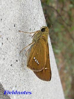 翅の白い斑点がまっすぐ並ぶ<br>イチモンジセセリ