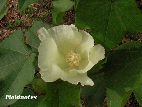 マンションの花壇の綿の花