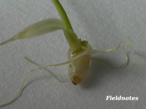 いつの間にか芽と根が出ていた籾