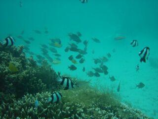 20111026クリマビーチ熱帯魚ミスジ
