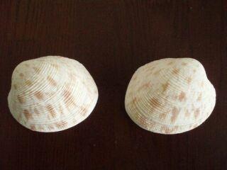 2枚の貝殻