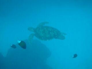 20111120ダイアナアオウミガメ