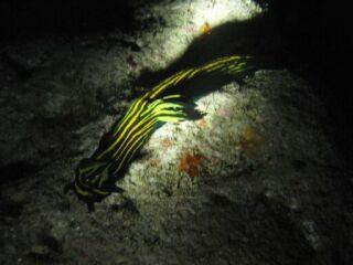 20111125エリザベスウミウシ