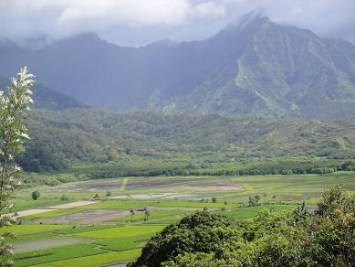 カウアイ島タロイモ畑1