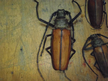 Callipogon armillatus:トゲムネ・キバカミキリ 60ソル