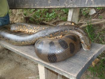 Anaconda②