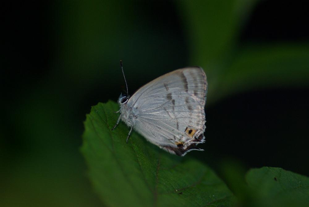 ウラジロミドリ 2011.06.25 0542