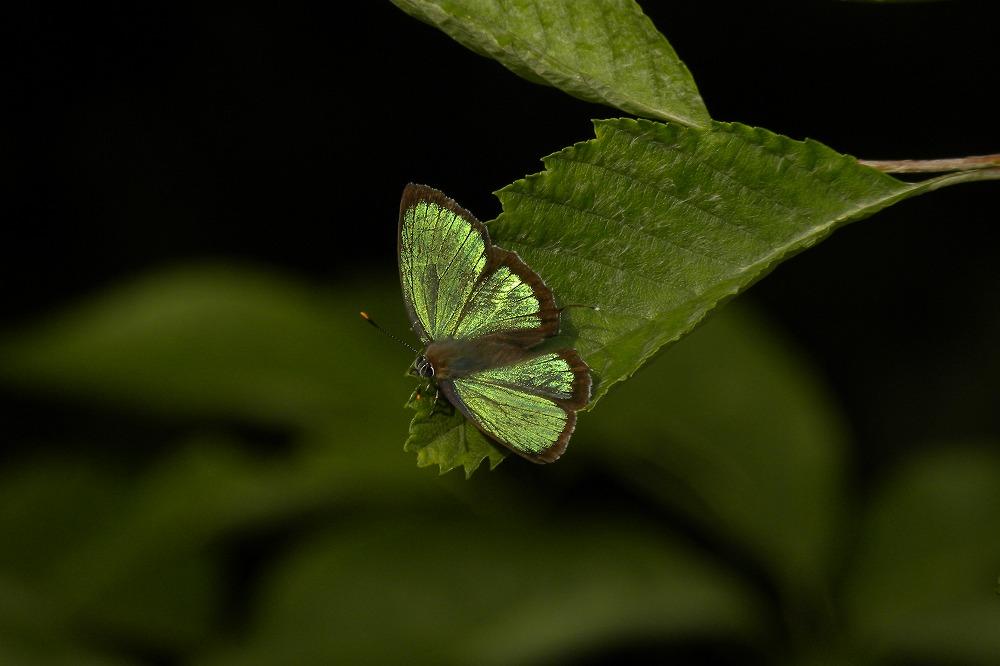 ヒサマツミドリ 2011.07.05 1642