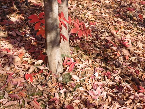 メグスリノキの落ち葉