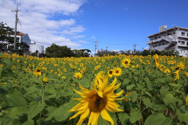 ひまわりIN北中城13