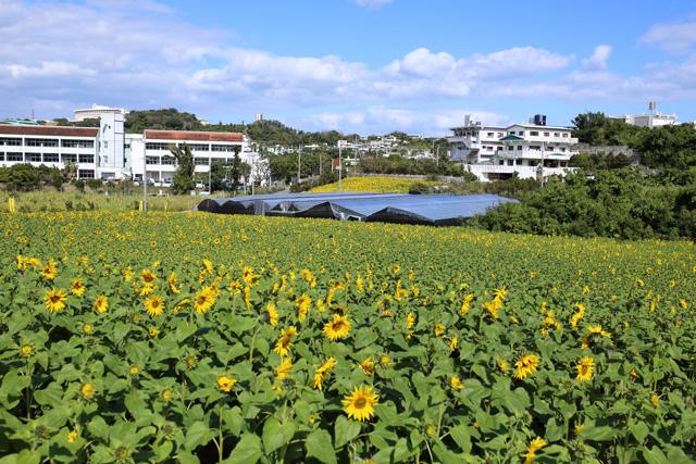 ひまわりIN北中城15