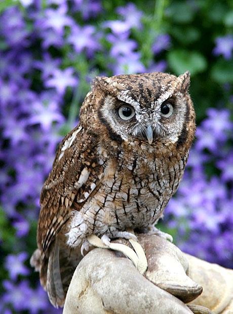 tropicalscreech-owl-1.jpg