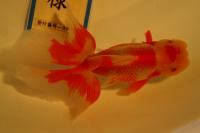 金魚日本一大会2012 (8)