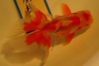 金魚日本一大会2012 (7)