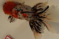 金魚日本一大会2012 (5)