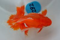 金魚日本一大会2012 (14)