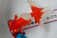 金魚日本一大会2012 (19)
