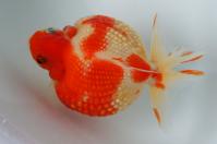 金魚日本一大会2012 (25)