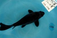 金魚日本一大会2012 (38)
