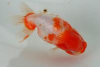 金魚日本一大会2012 (44)
