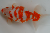 金魚日本一大会2012 (42)