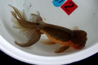 金魚日本一大会2012 (41)