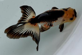 金魚日本一大会2012 (51)