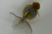 金魚日本一大会2012 (59)