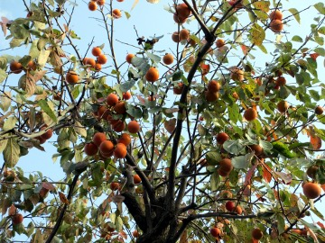 柿落ち葉2