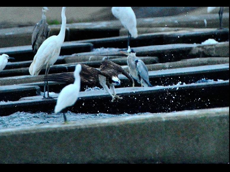 神川橋のミサゴ