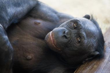 bonobo2[1]