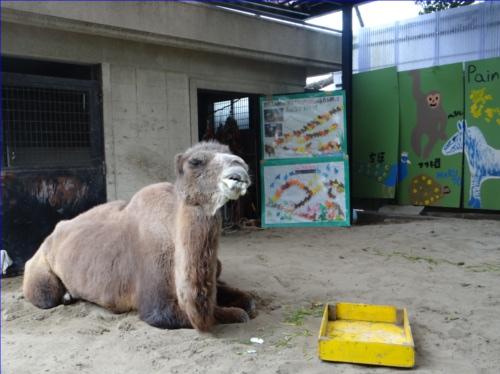 横浜に日本最高齢のラクダがいる!?