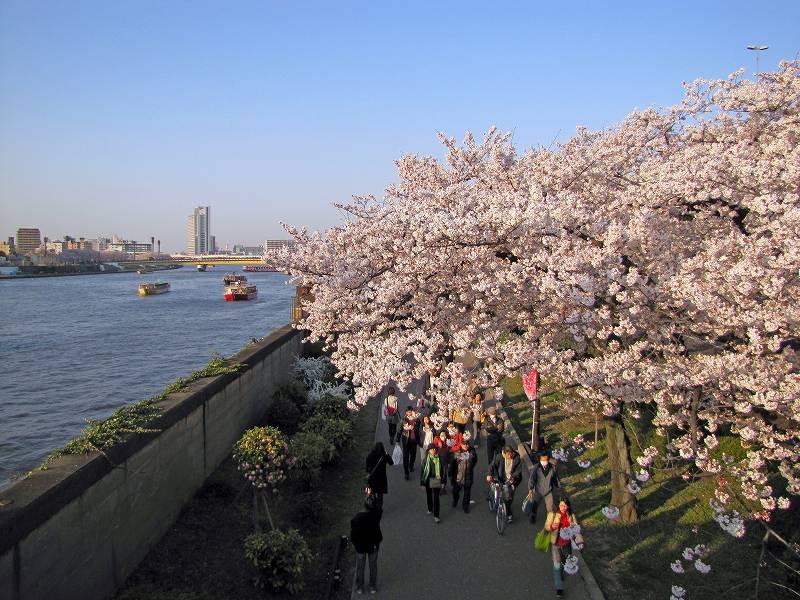 隅田川の桜3