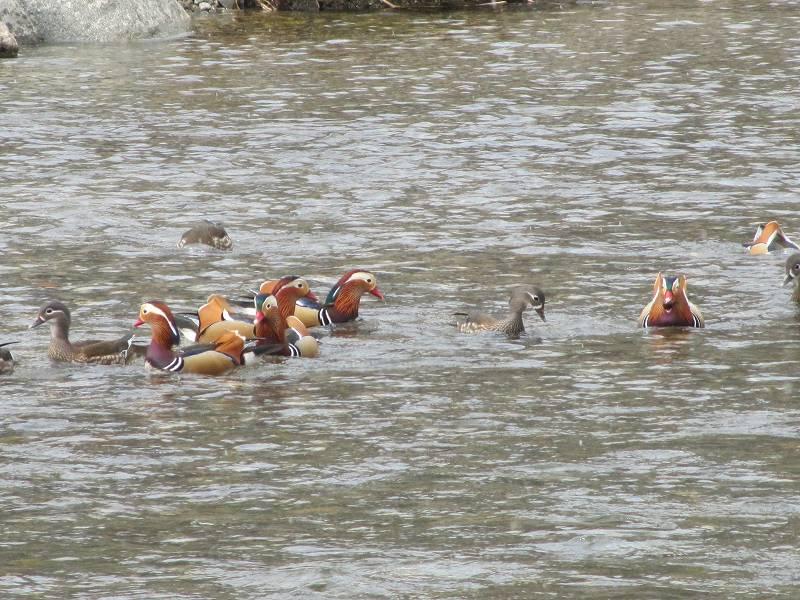 鳥取・根雨宿のオシドリ2