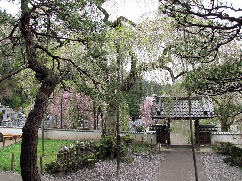秩父・荒川の桜1