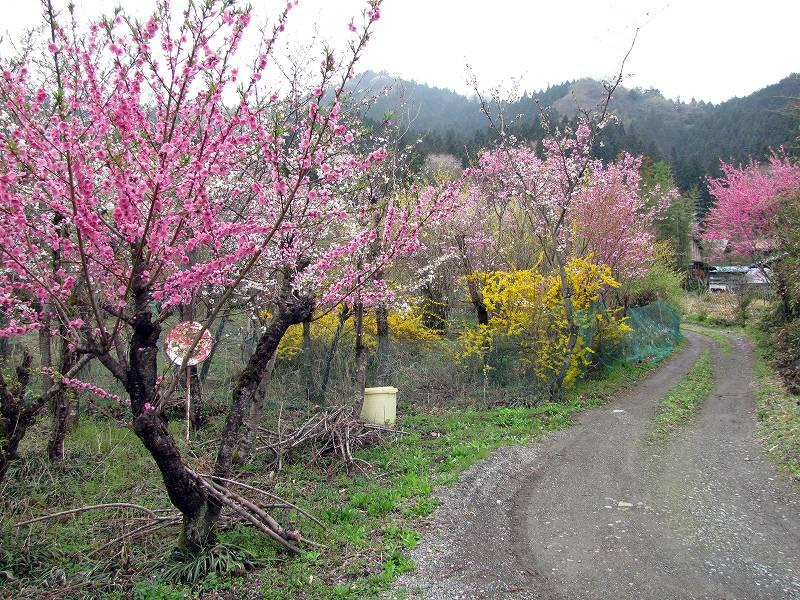 秩父・荒川の桜2